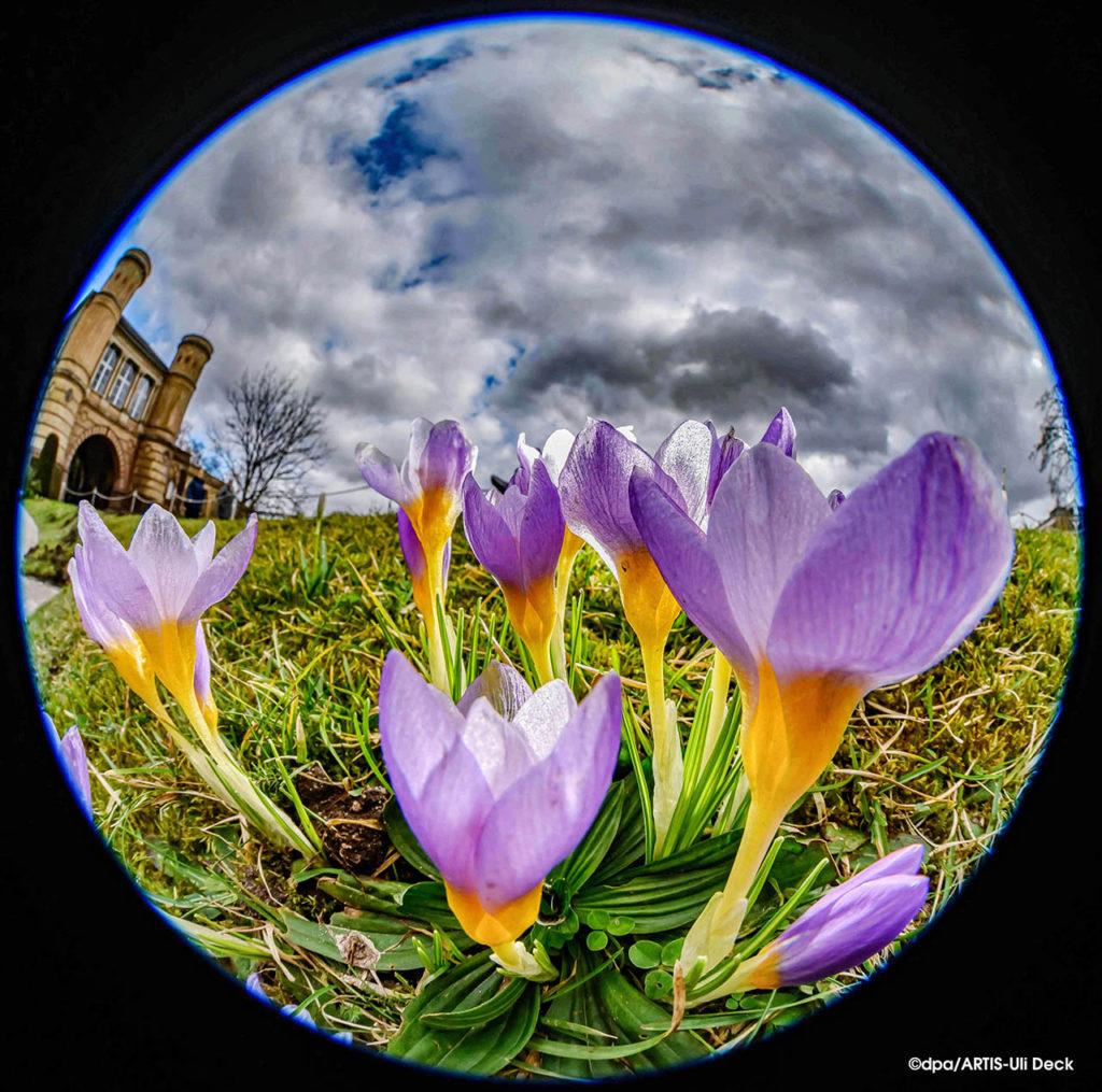 Frühlingserwachen -  Krokusse blühen im Botanischen Garten Karlsruhe