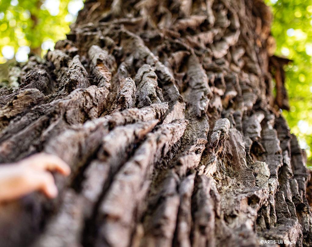 Naturdenkmal Baum, eine über 300 Jahre alte Stieleiche in Karlsruhe. Foto COPYRIGHT: ARTIS-Uli Deck