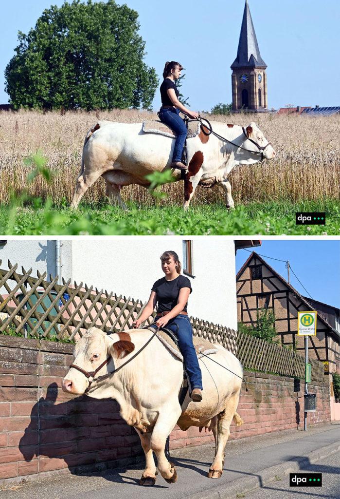 Sonja Keller reitet mit ihrer Kuh Melina durch Ölbronn-Dürrn. Regelmässig ist die 22-Jährige mit der Kuh in der Ortschaft unterwegs. Foto COPYRIGHT: dpa/ARTIS-Uli Deck. (Licensing via:  sales@picture-alliance.de )