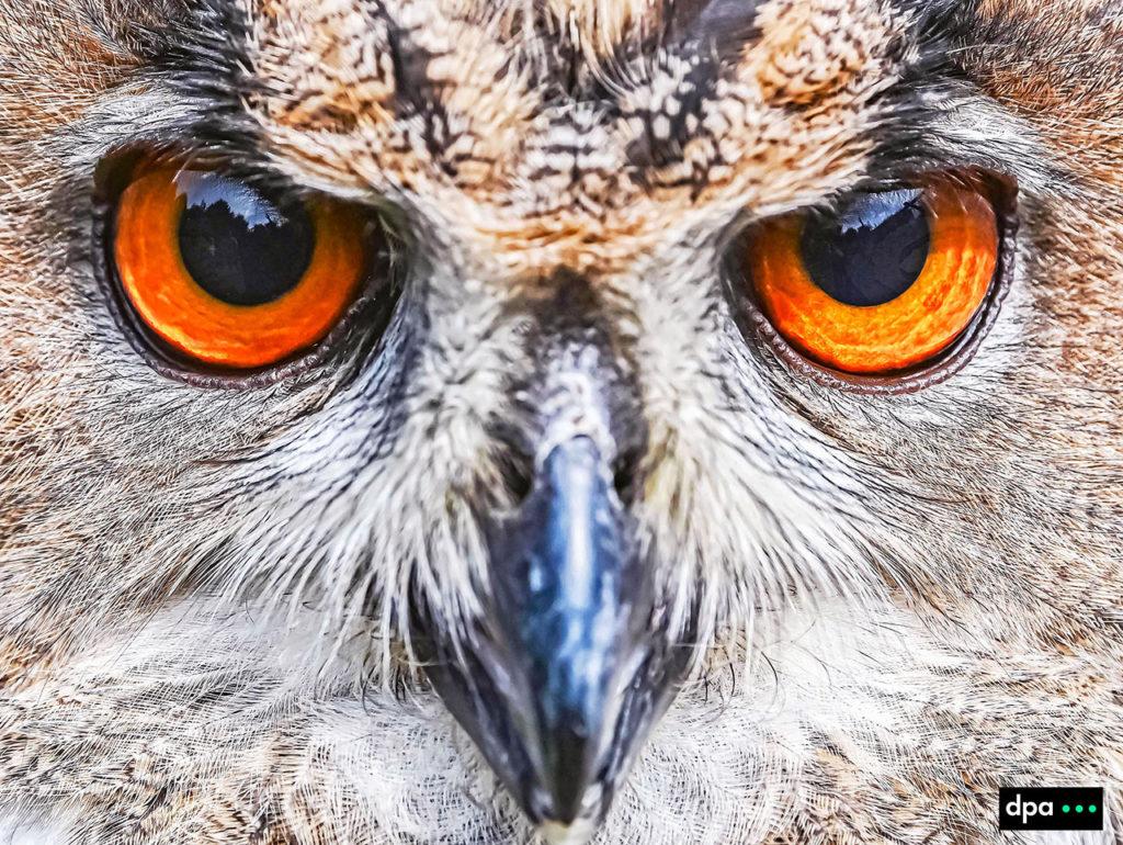 dpaphoto, dpafoto, uhu#augen, tiere, vögel, greifvögel, greifvogel, tieraugen, blick, sehen, vogelart, uhus#kopf, orangegelb, gefieder, auge, eulenart, bubo, scharferblick